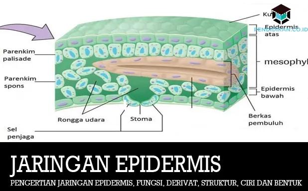jaringan-epidermis